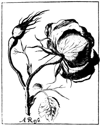 Black_and_White_Rose